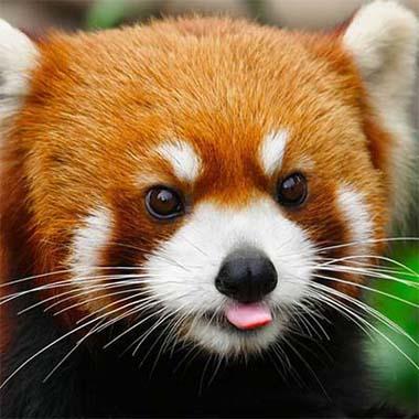 img_ur Cute Red Panda